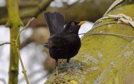 ptak - kos