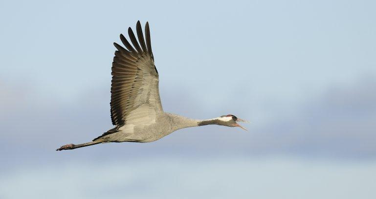 Monitoring ptaków w zachodniopomorskim